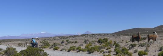 lamas-biketrip-bolivia