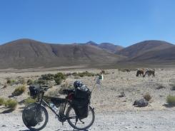 lamas-velo-coipasa-bolivia